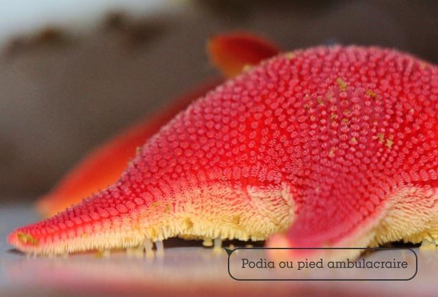 Odontaster (étoile de mer – groupe des Echinoderme). 8 cm