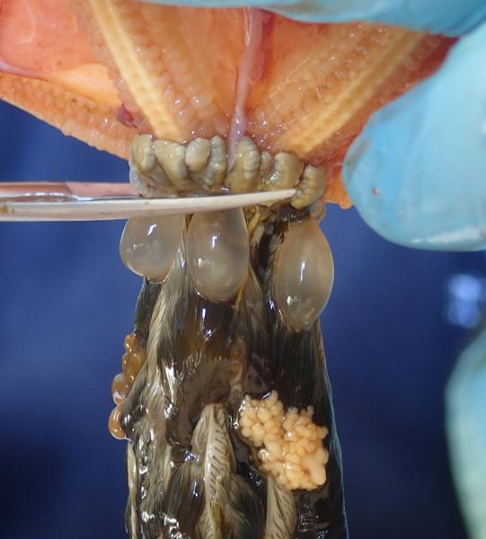 Les caecums sont prélevés avec une paire de ciseau à dissection. © MNHN